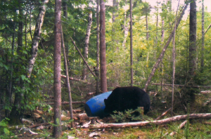 Bear Sniffing Bait