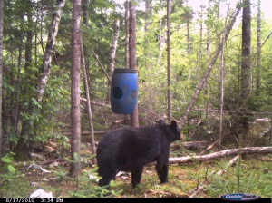 Bear Walking to Bait