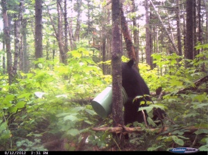 Bear near bait 2